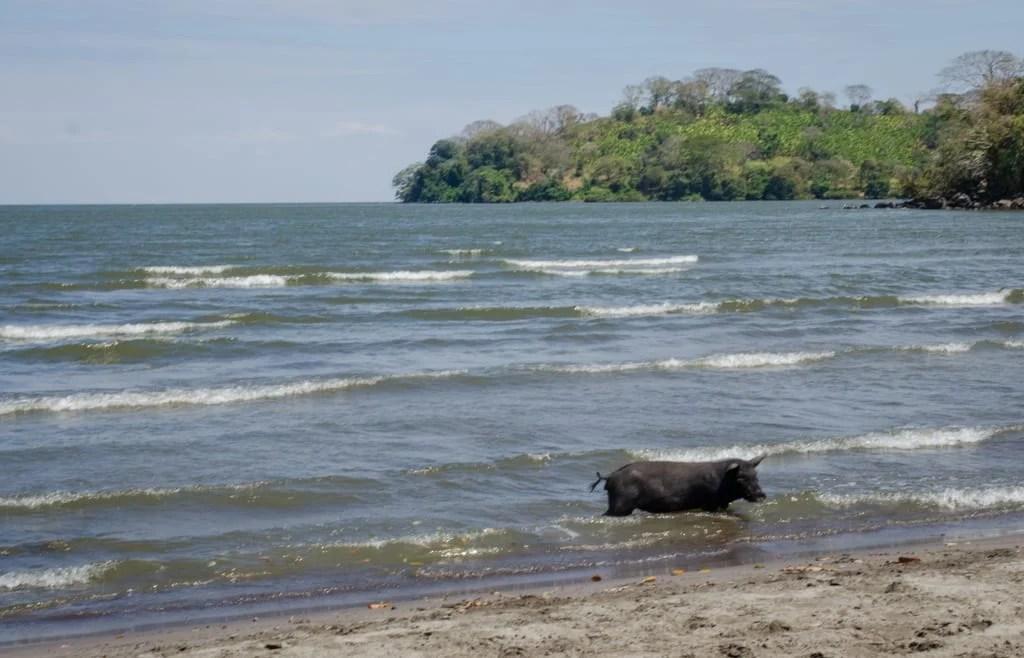Swimming Pig Ometepe
