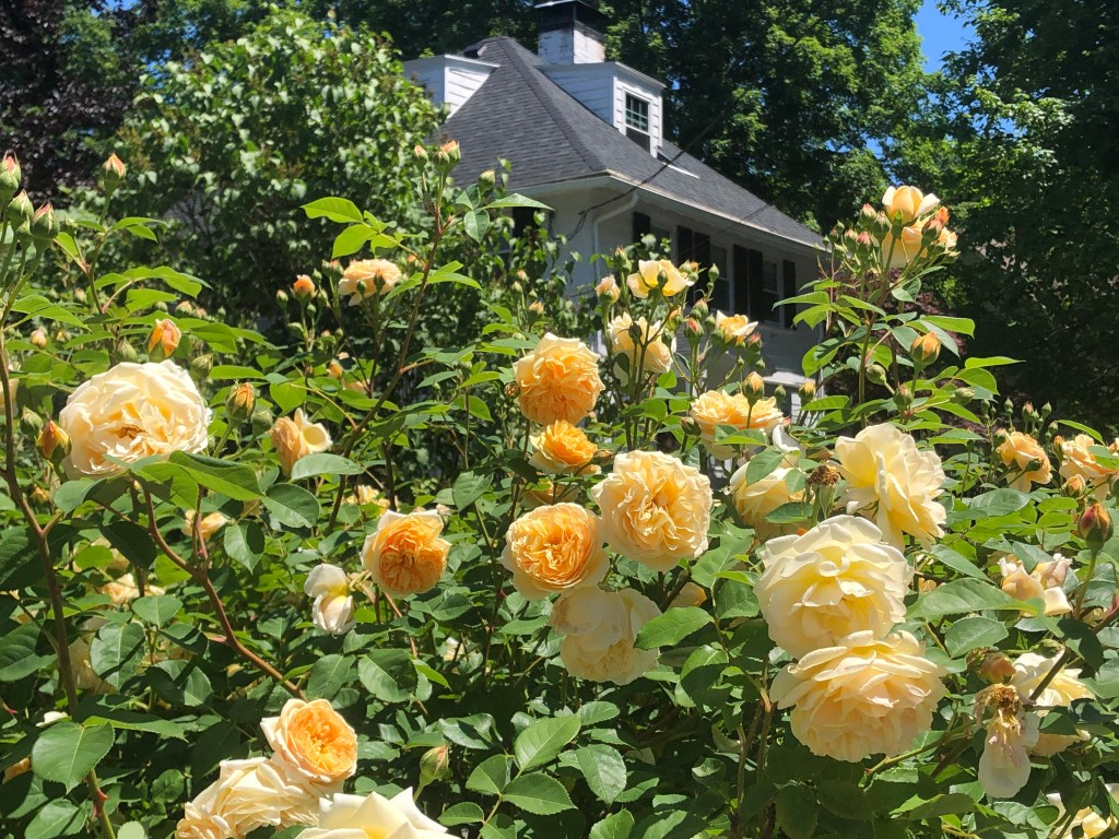 Yellow roses bursting in front of a house.