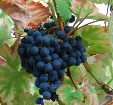 Mourvèdre grapes