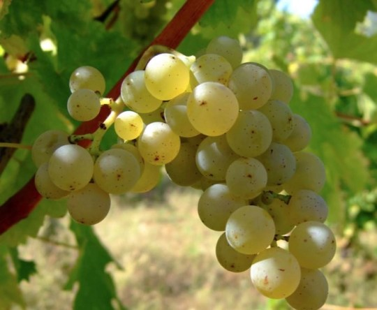 sauvignon blanc grapes FROM THE LOIRE VALLEY IN FRANCE