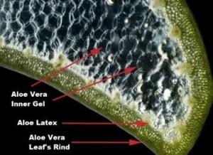 loe leaf showing various parts of the leaf