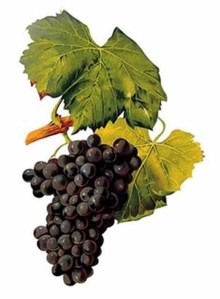 granche grapes