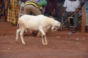 We'll Give You A Cow If NDC Win December Polls, NDC Loyalist Promises Sammy Gyamfi. 10