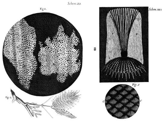 Células de corcho y escamas de pez en Micrographia