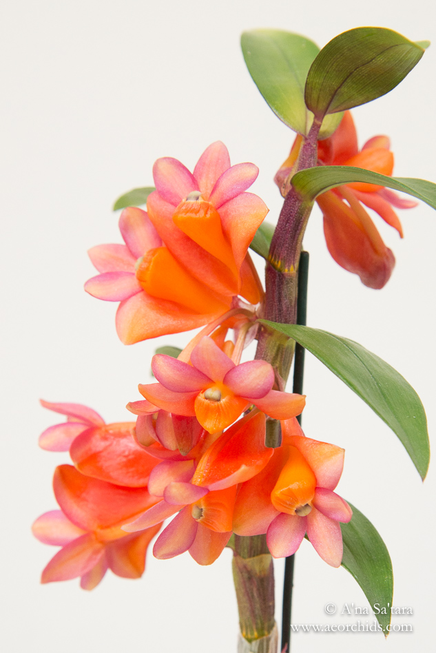 Dendrobium Golden Gate Sunrise orchid images