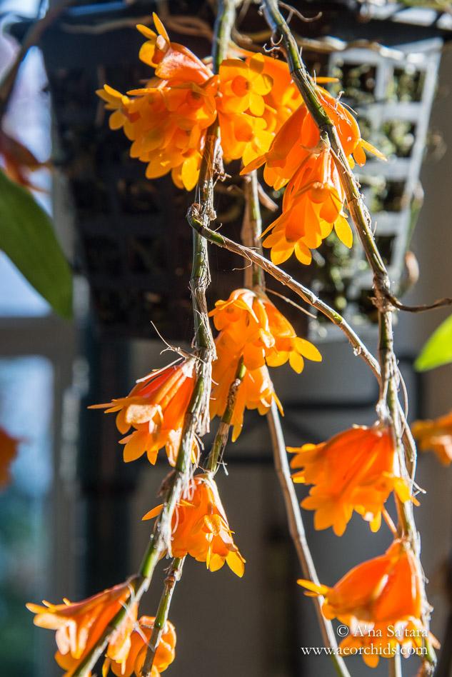 Dendrobium subclausum orchid images