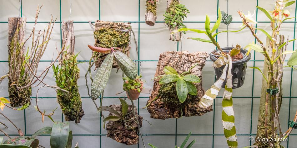 Indoor orchid growing hanging mounts