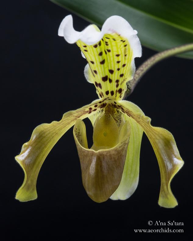Paphiopedium Leeanum orchid images
