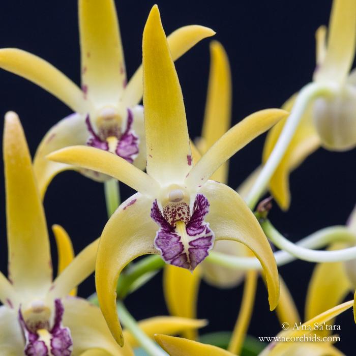 Dendrobium Robbie McInnes orchid images
