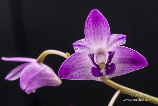 Dendrobium kingianum 'AEO' orchid images