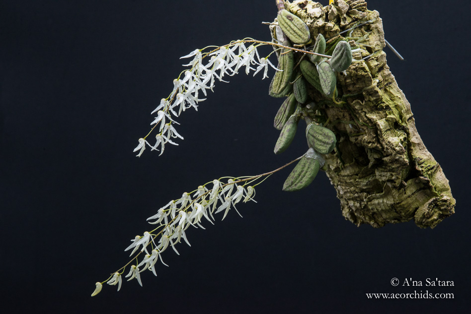 Dockrillia (Dendrobium) linguiformis orchid images