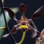 Dendrobium johannis