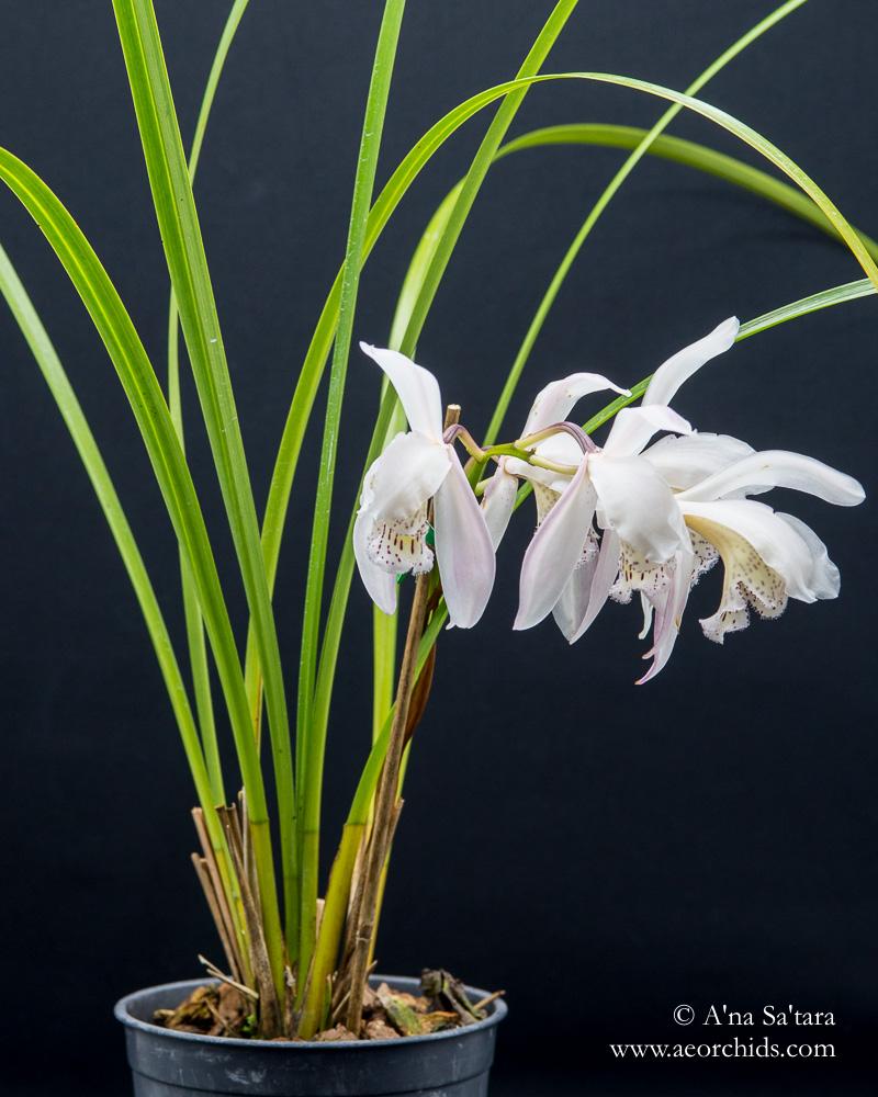 Cymbidium wenshanense orchid images