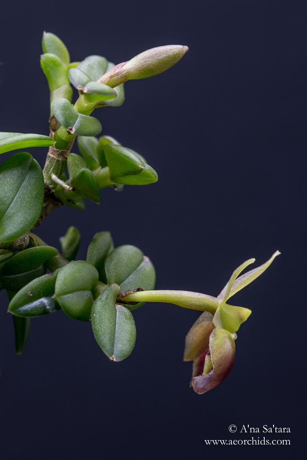 Epidendrum porpax orchid images