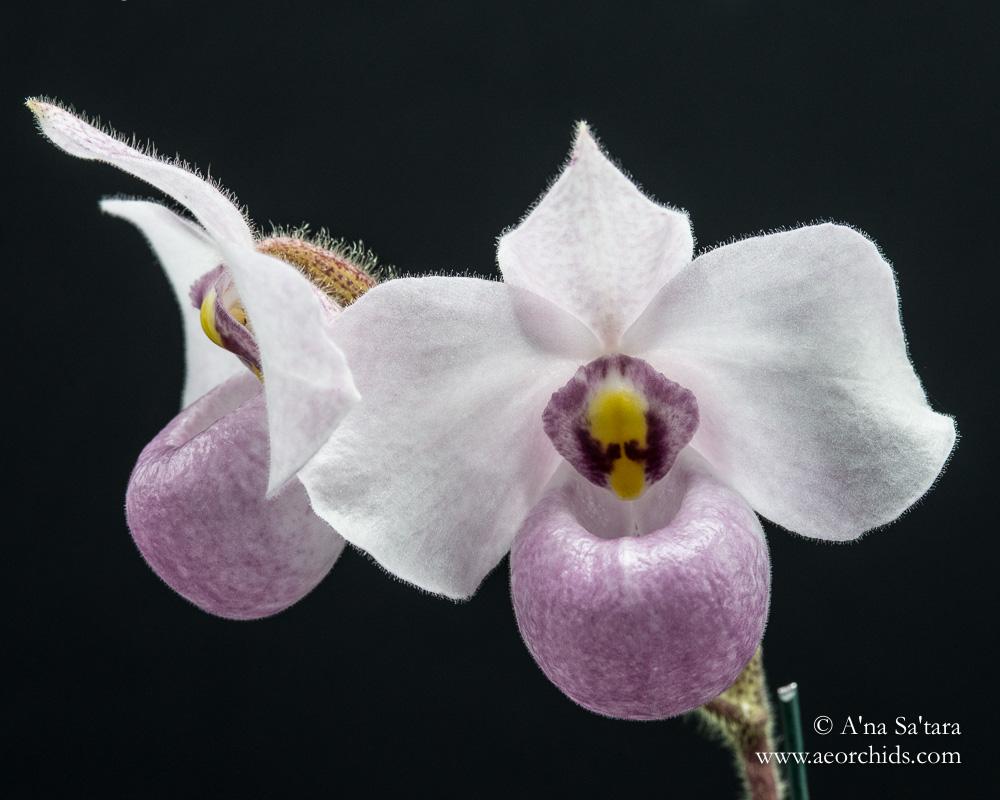Paphiopedilum delentatii orchid images