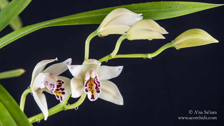 Cym sanderae orchid images