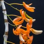 Dendrobium unicum (Vietnam form)