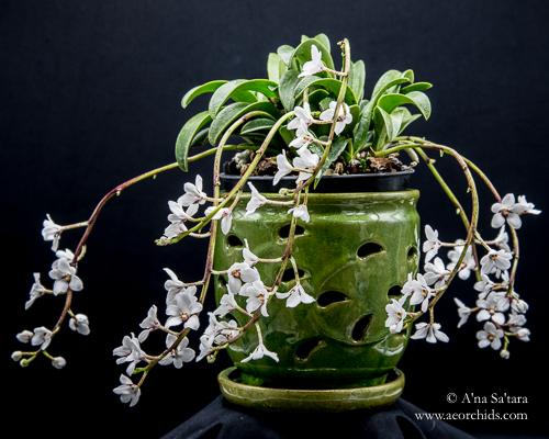 Sarcochilus orchid virus CymMV ORSV