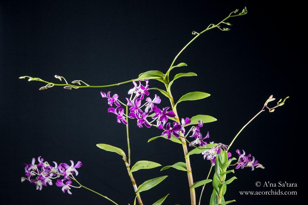 Dendrobium x superbiens orchid images