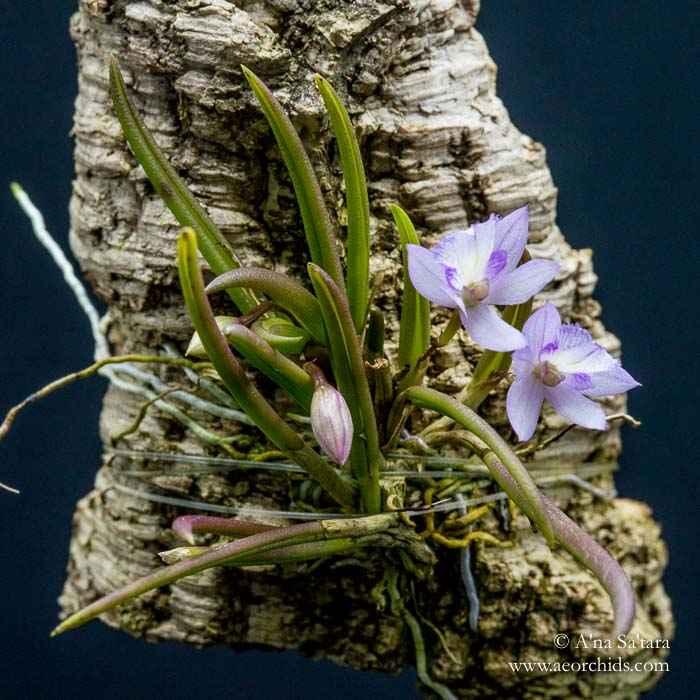 Leptotes pauloensis orchid images