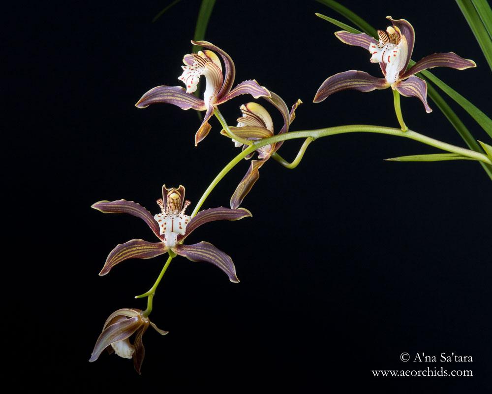 Cymbidium Ken Siew 'Santa Barbara' orchid images
