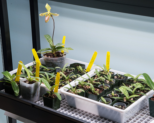 LED lights for orchid seedlings