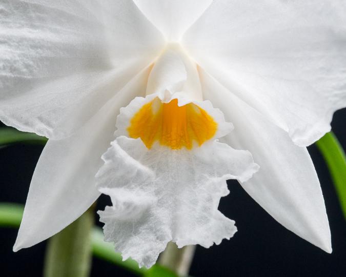 Orchid images Dendrobium