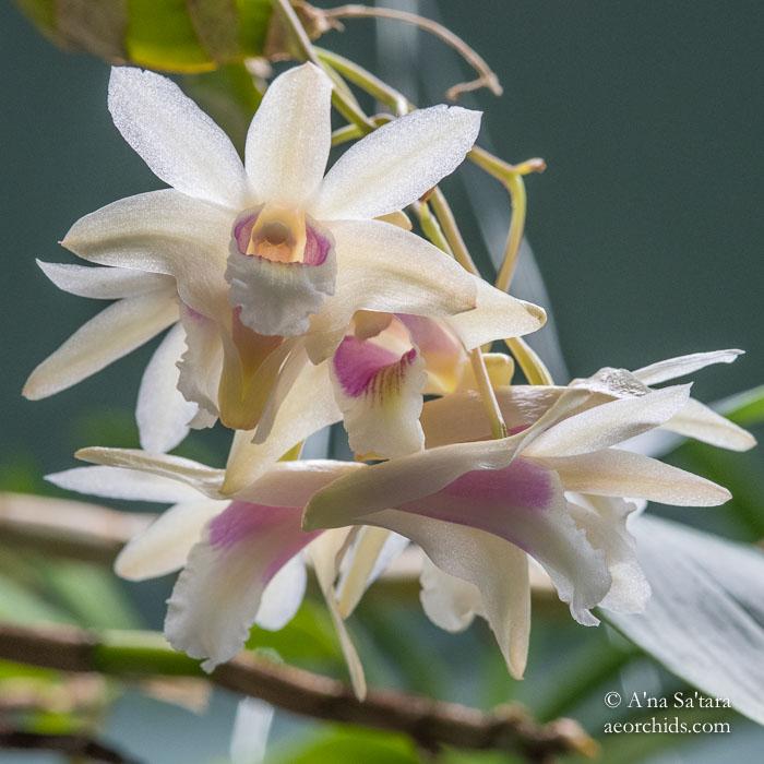 Dendrobium treubii orchid image