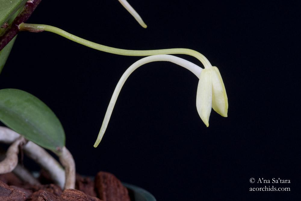 Vanda Neofinetia falcata yellow