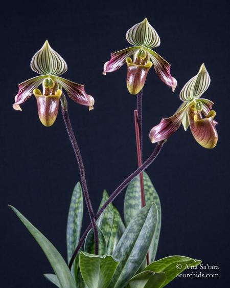Paphiopedilum orchid species taxonomy