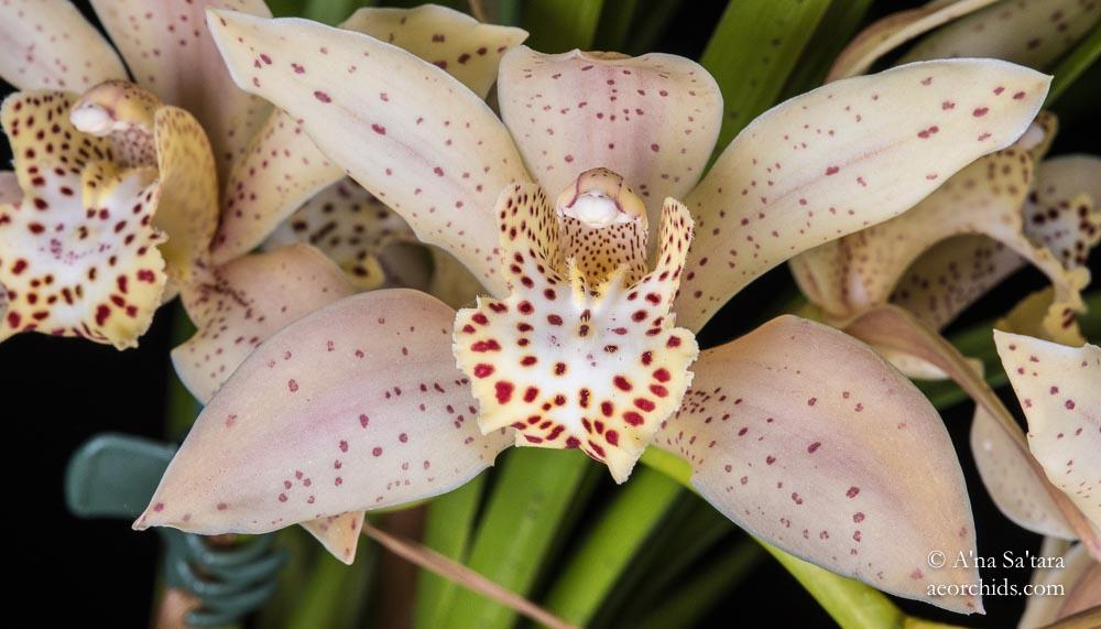 Cymbidium Early King 'James'