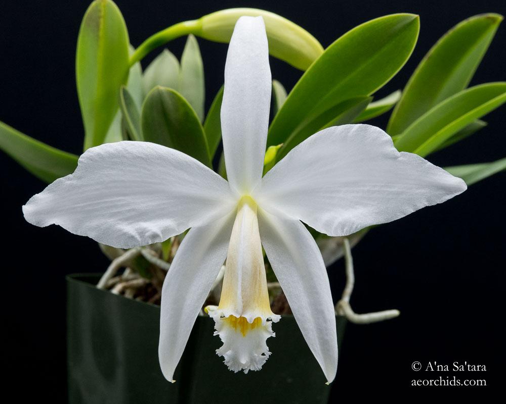 Cattleya (Laelia) jongheana fma. alba