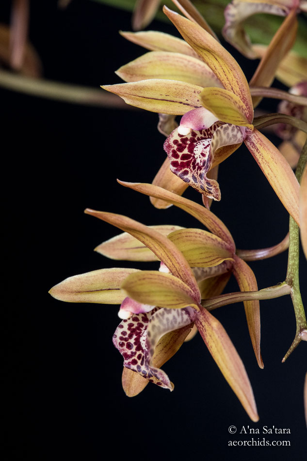 Cymbidium Devon Elf 'Everglades'