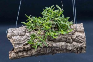 Grow Orchids on Mounts Orchid Logs