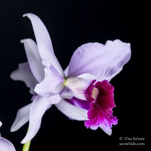 Laelia purpurata Cattleya