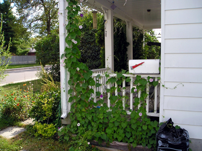Morning Glories Climbing the porch