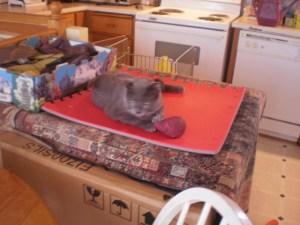 Guest Cat Living Dangerously