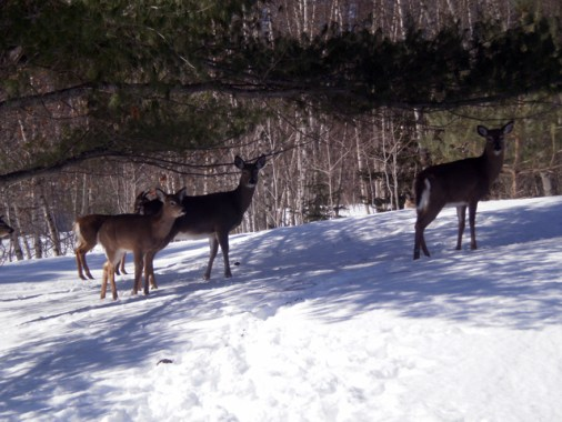 Family of deer in shade on snowy hillside.
