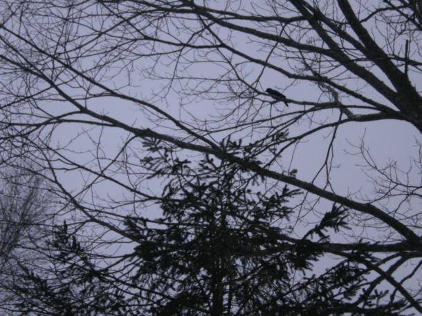 Crow in a tree against a grey (snowing) sky.