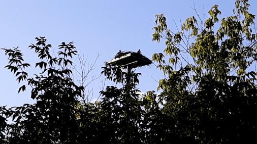 Nesting Ospreys on a platform built for them.