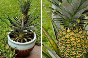 Astuce-Faire-Pousser-Ananas-Dans-La-Maison-