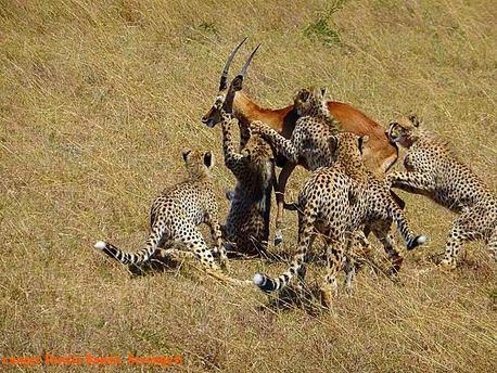 cheetas impala
