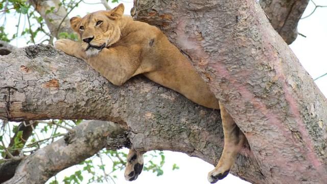 ishasha lion