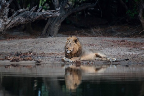lion along river