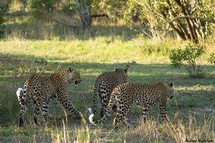 three leopards