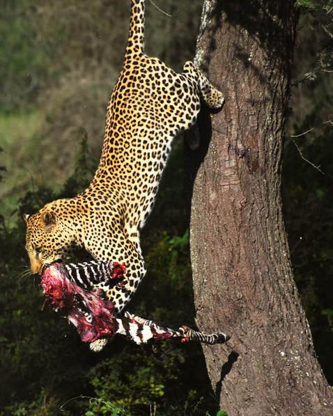 leopard with killing
