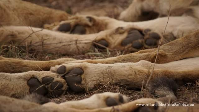 lion feet