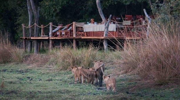 lions walking