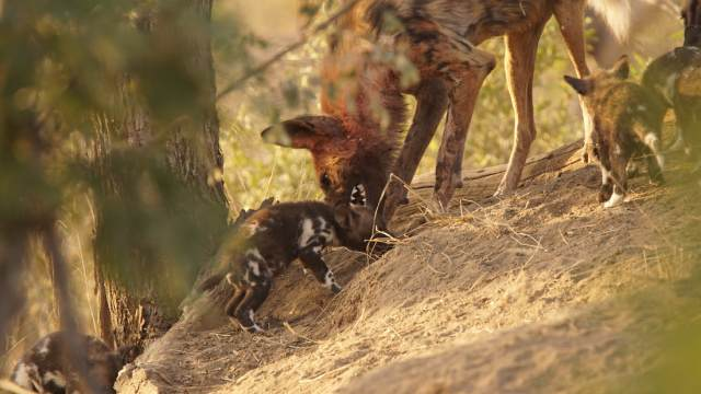 wild dog with cubs