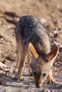 wild dog cub